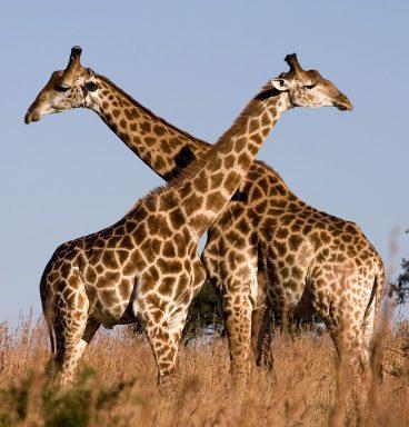 SA-Giraffe_Ithala_KZN_South_Africa_Luca_Galuzzi_2004-1920x1280